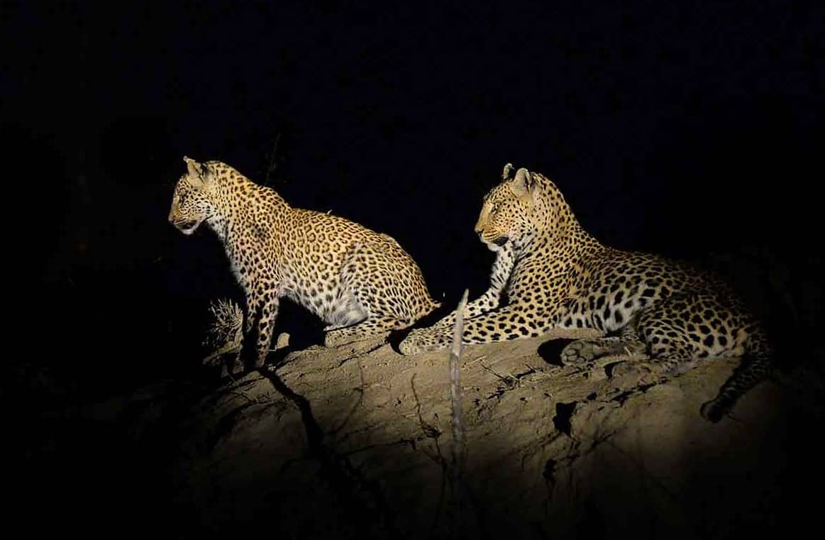 Leopard on a night drive at nThambo