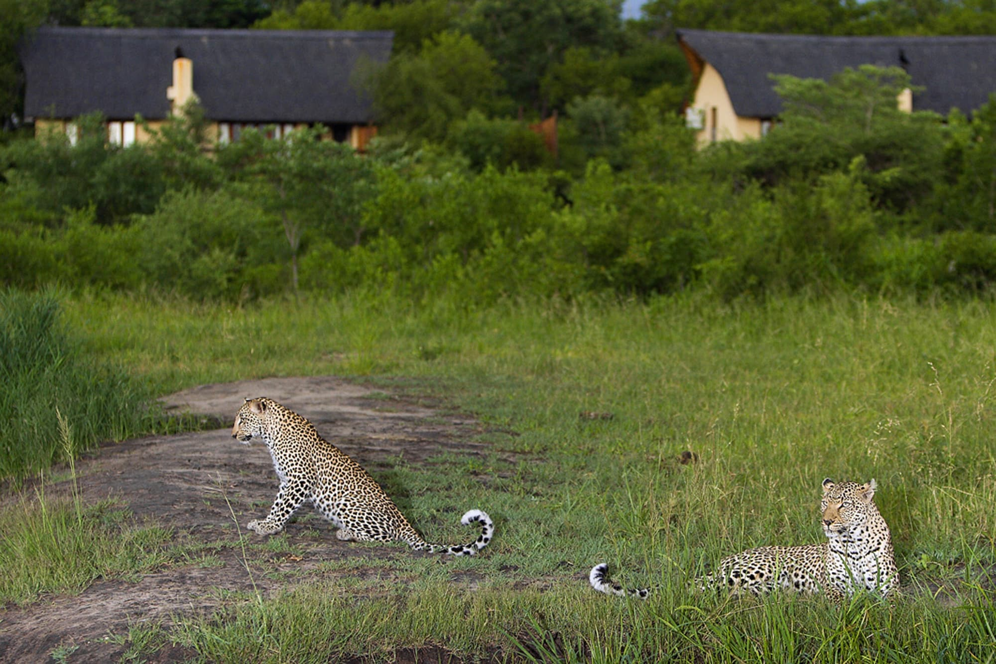 Leopards in front of Elephant Plains