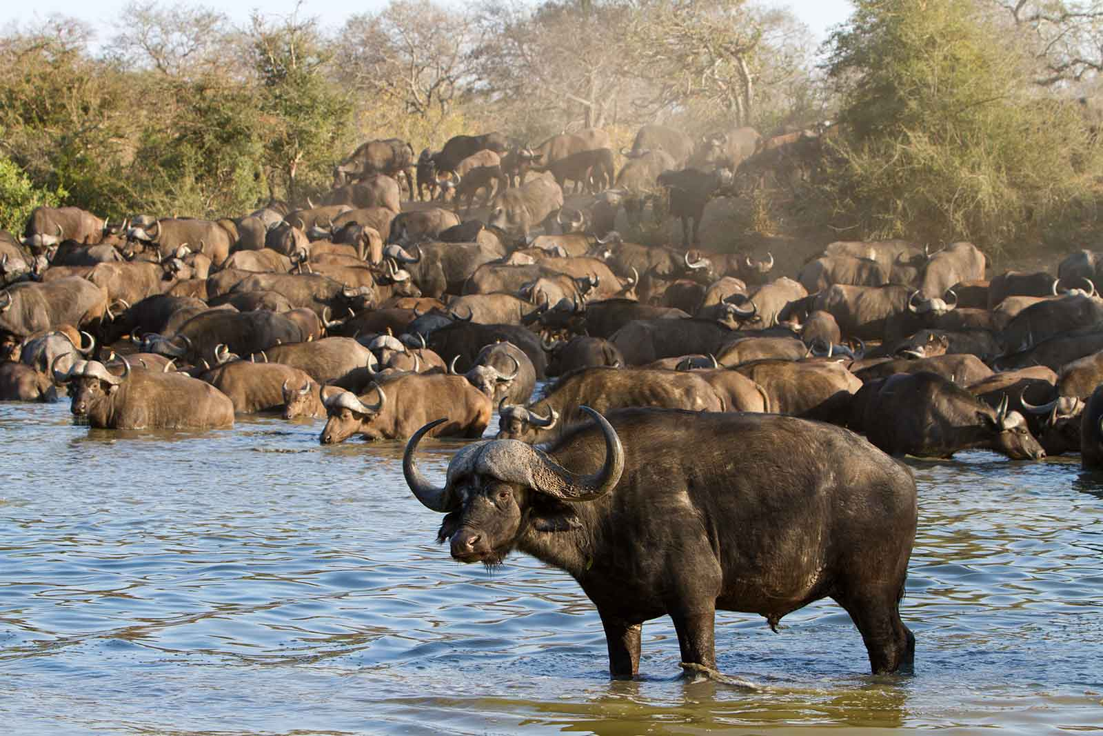 Buffalo at nThambo waterhole