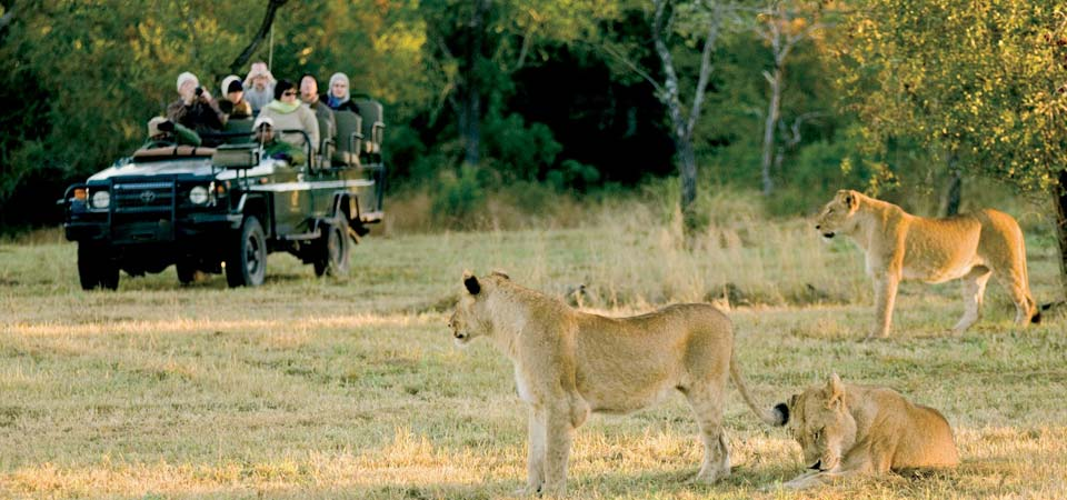 Lions on drive at Galago Bush Camp