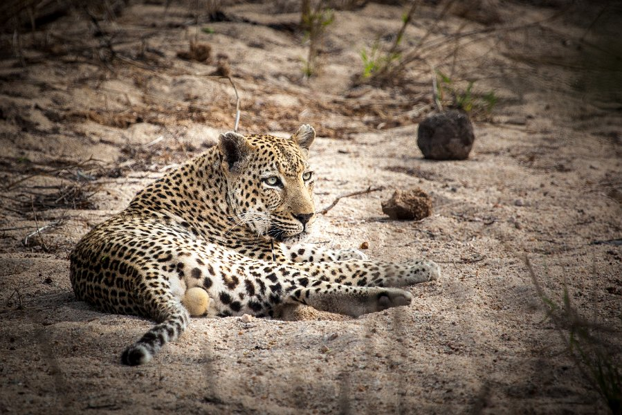 Leopard at Cheetah Plains