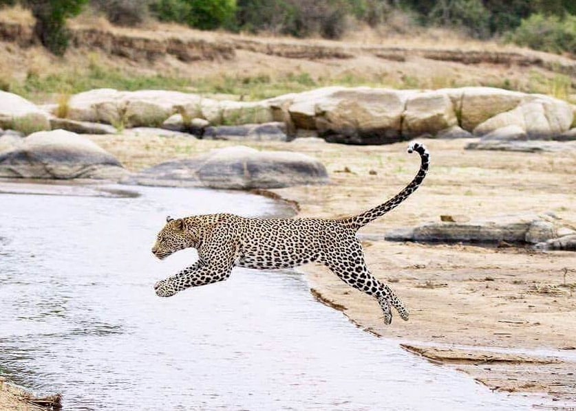 Leopard leaping the Sand river at MalaMala