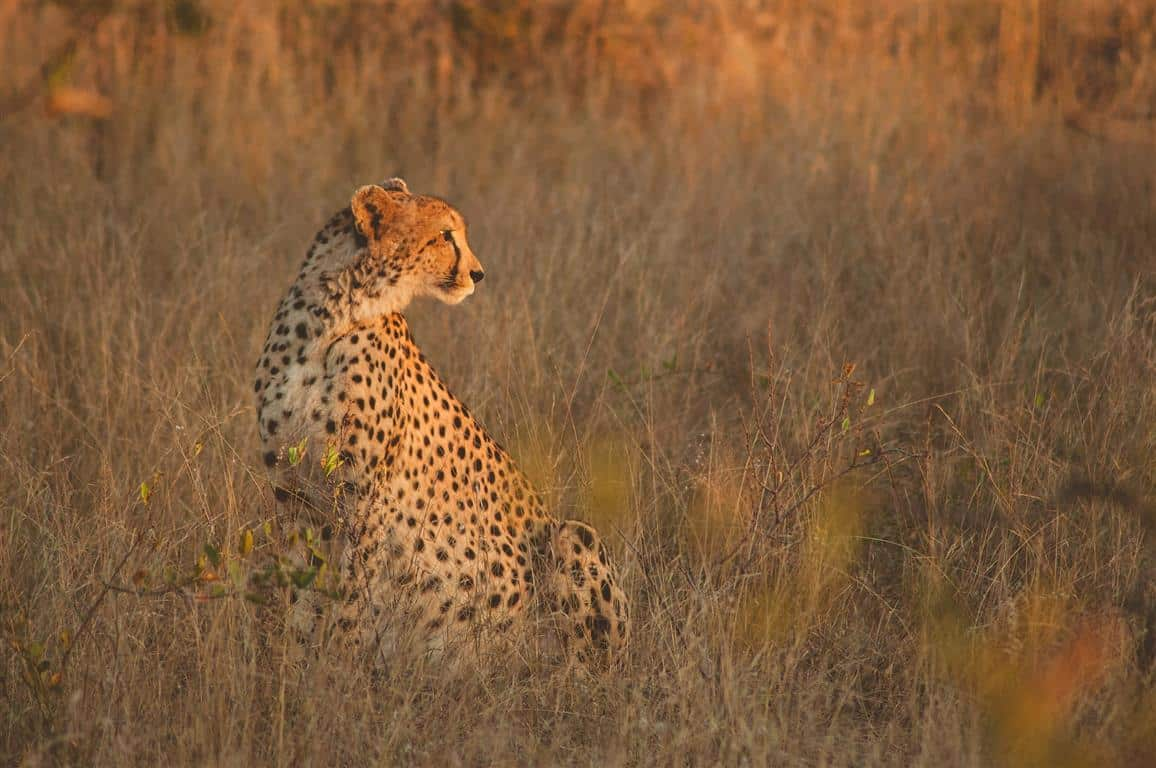 Cheetah at Baobab Ridge