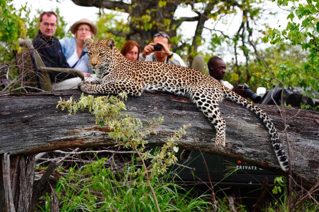 Leopard on drive at Motswari
