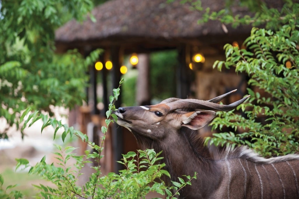 Nyala at Motswari camp