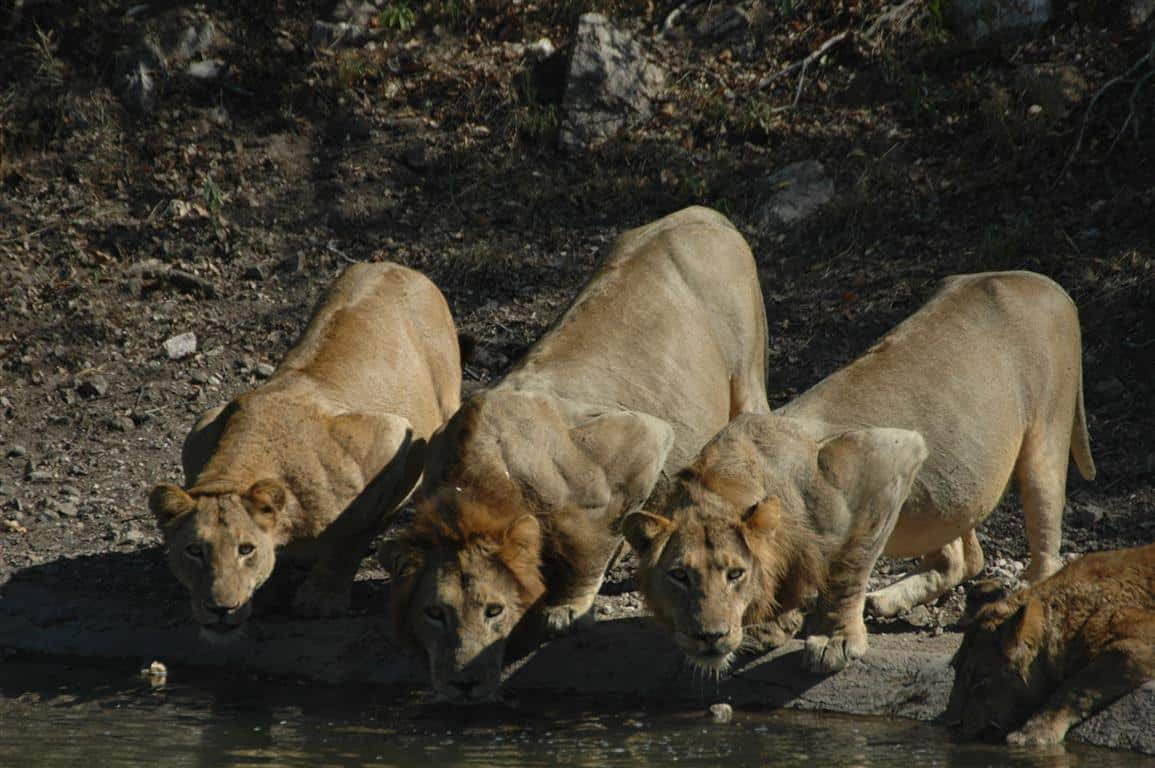 Lions at Rhino Post waterhole