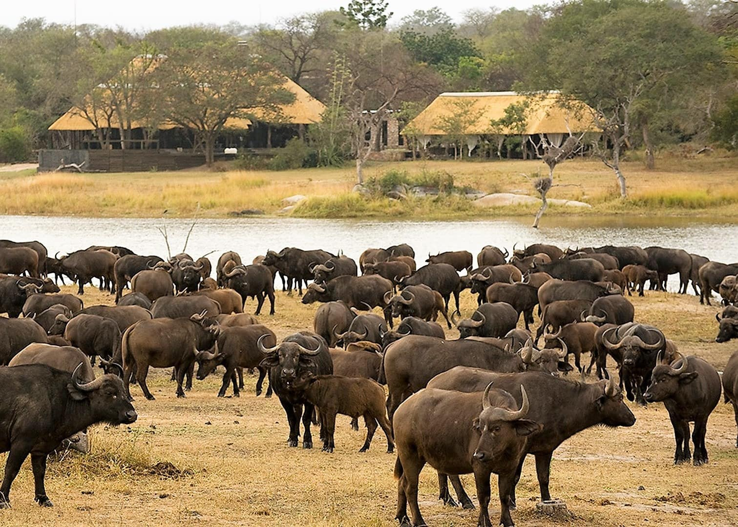Buffalo mega herd at Chitwa Chitwa