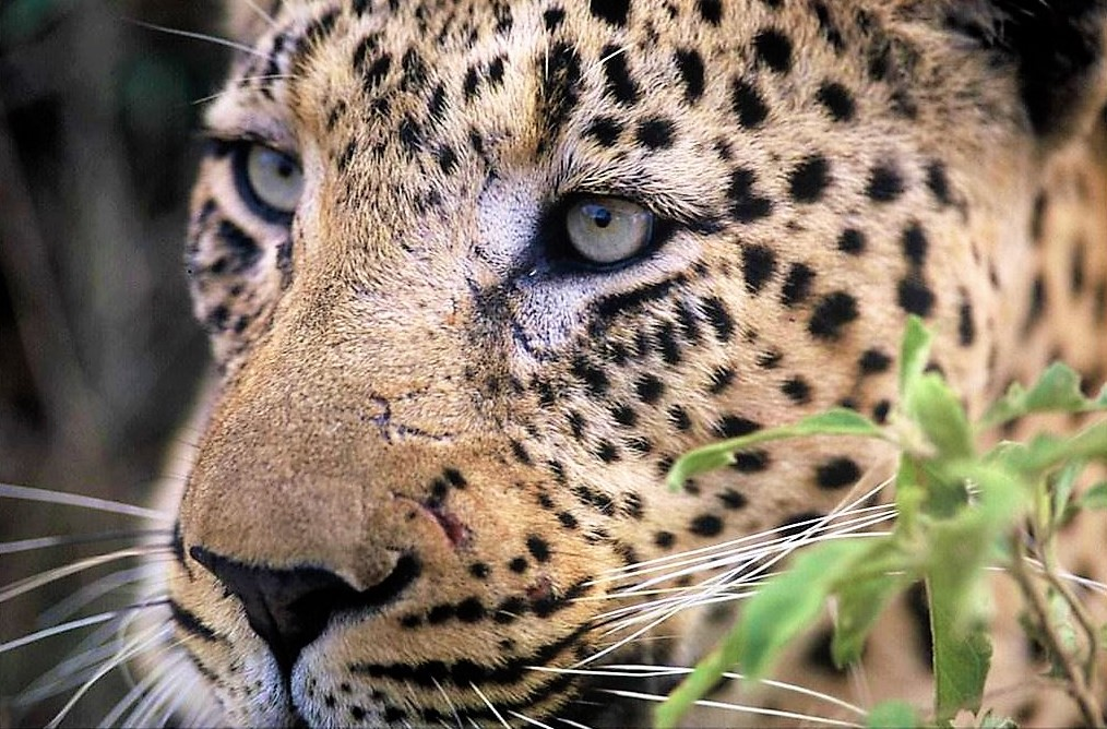 Leopard at Bateleur, Timbavati