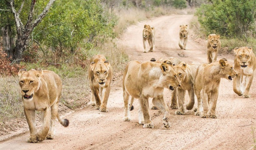 Lion pride at Makanyi in the Timbavati