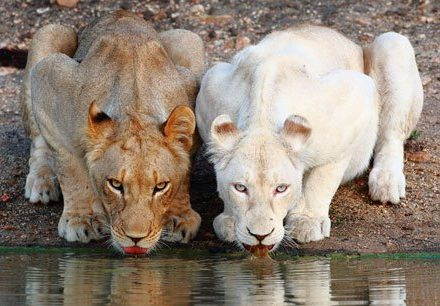 White lion at Motswari waterhole