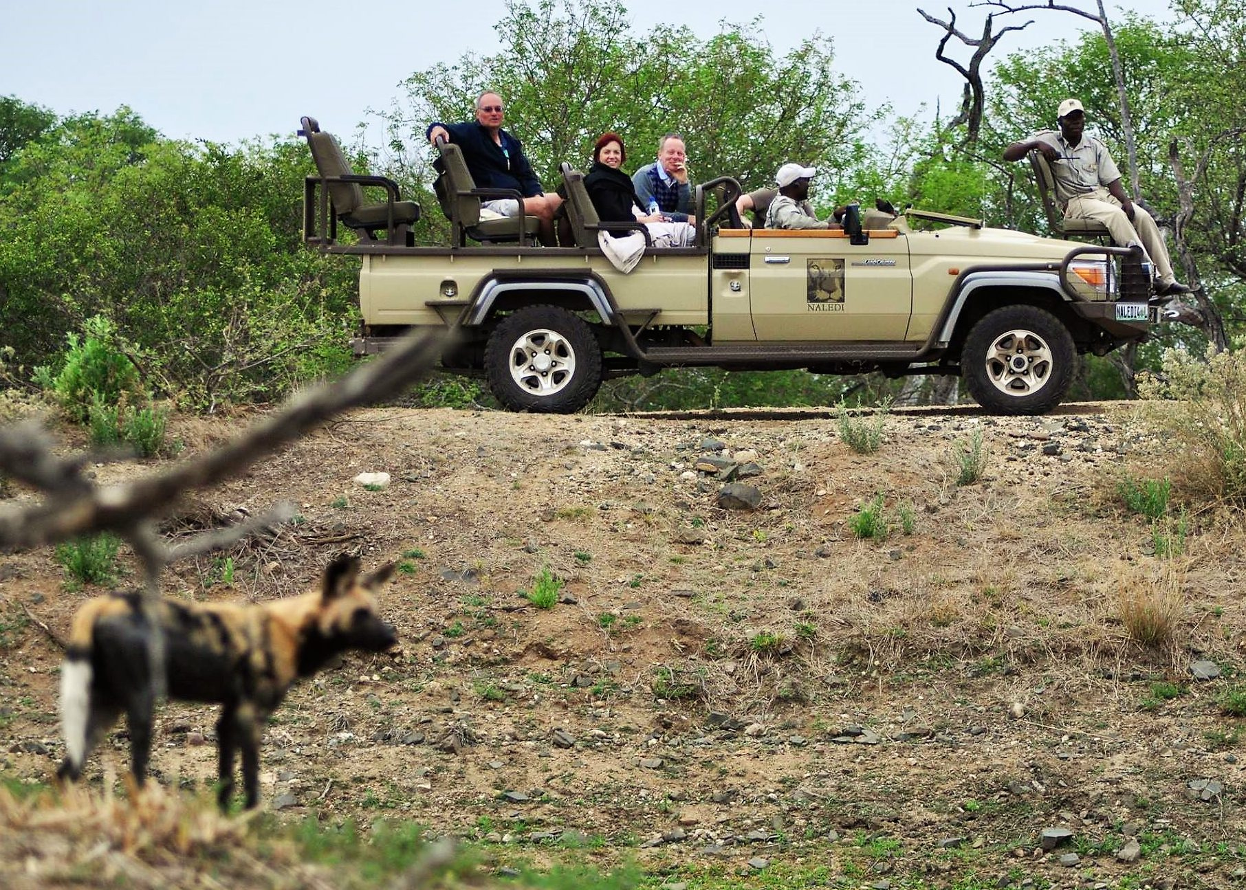 Wild dog on drive at Naledi