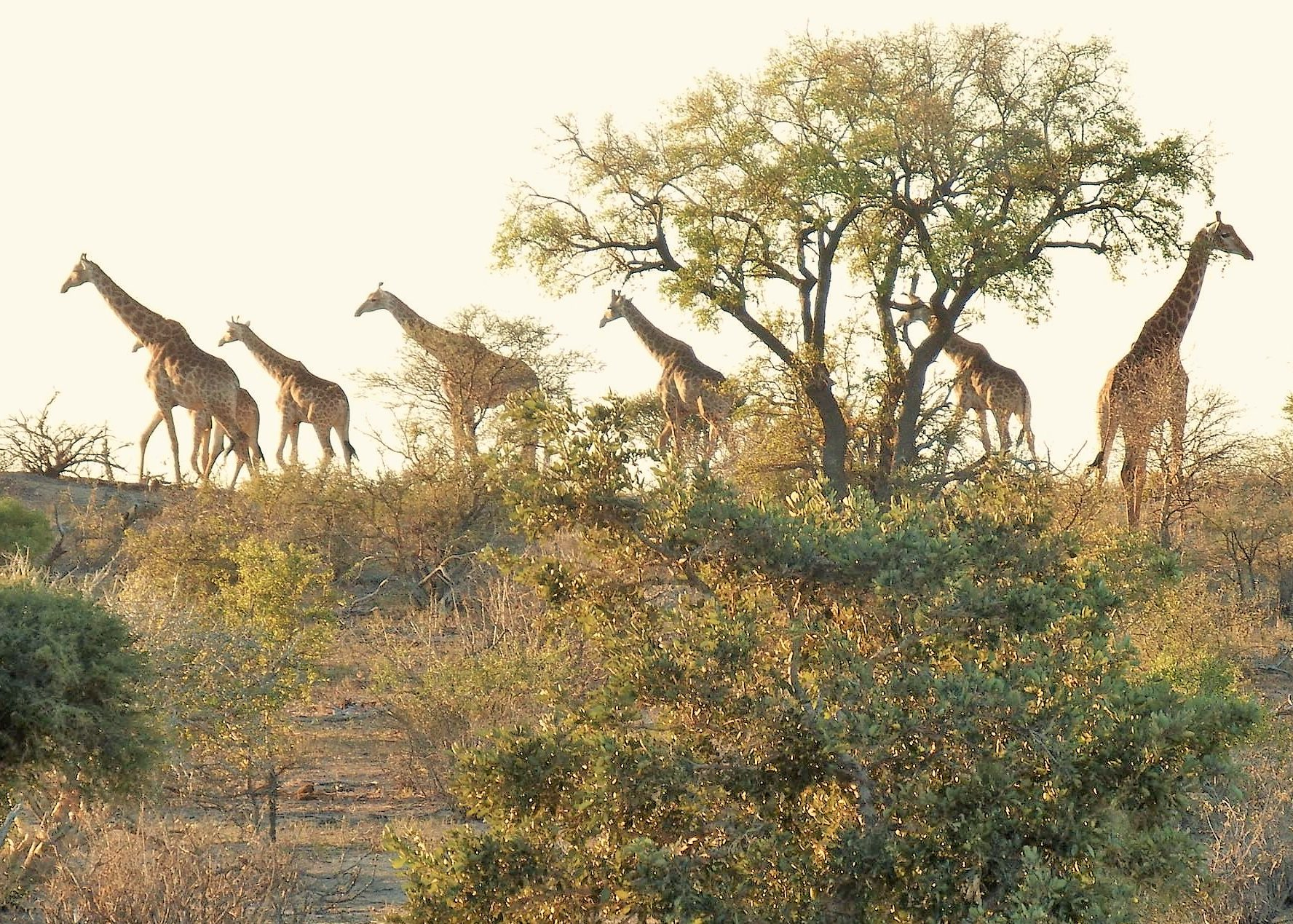 Giraffe processing along the horizon at nDzuti