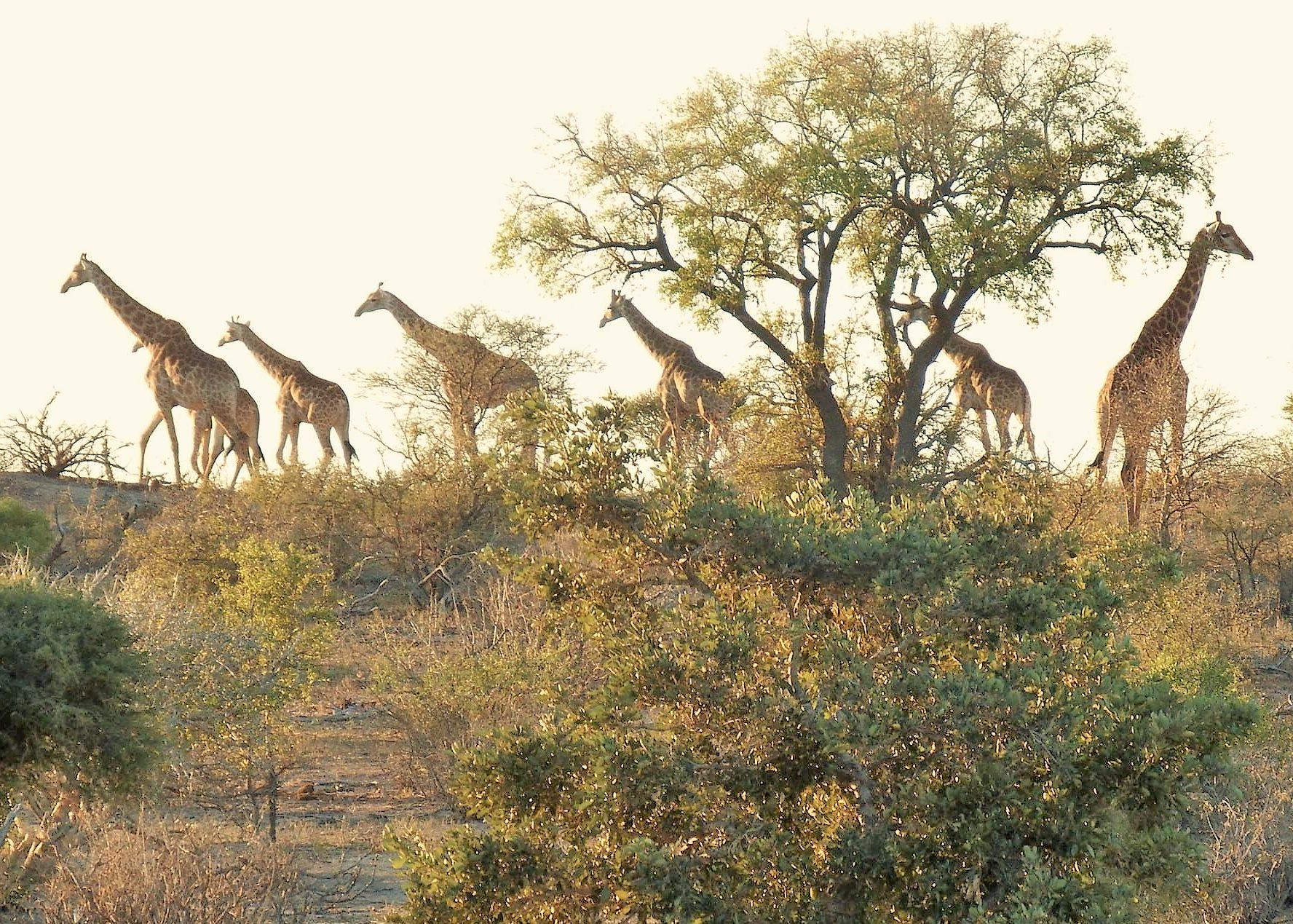 Giraffe processing along the horizon at nDzuti