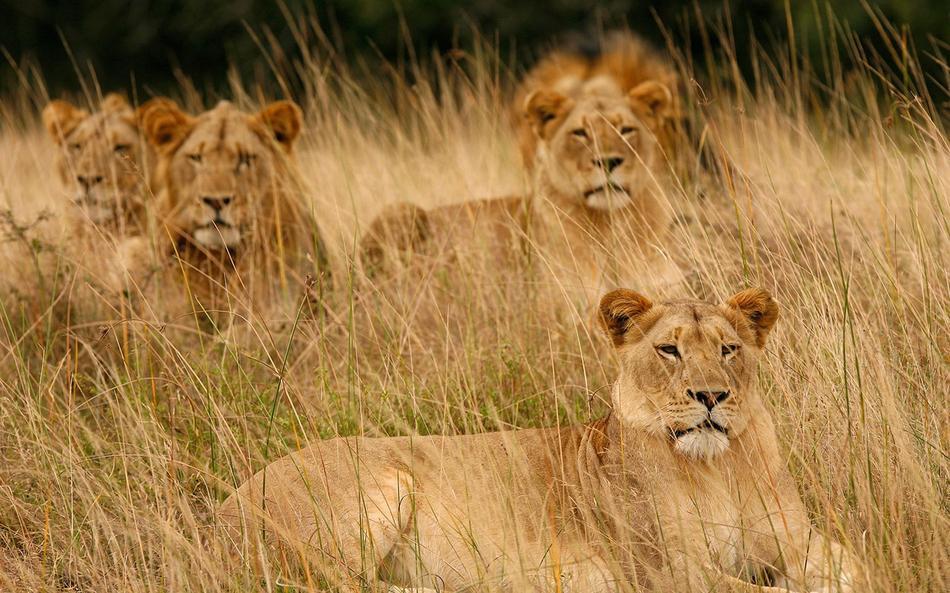 Ngala lion pride