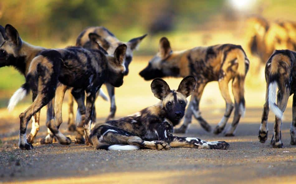 Wild dog kill at Ngala Safari Lodge