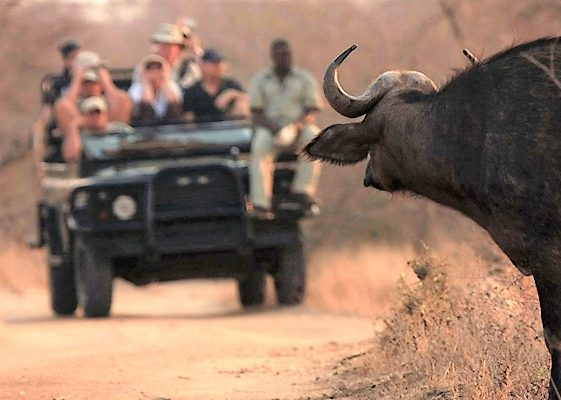 Buffalo on drive at nThambo