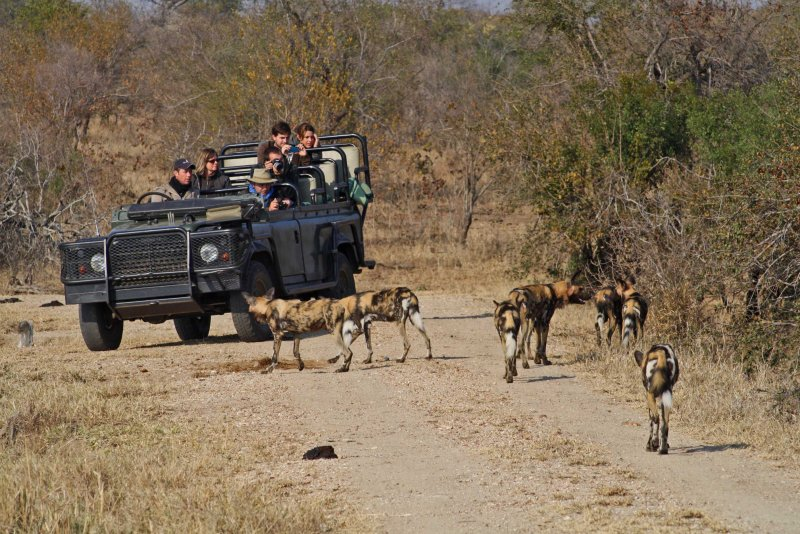 Wild dog pack at Shindela on drive