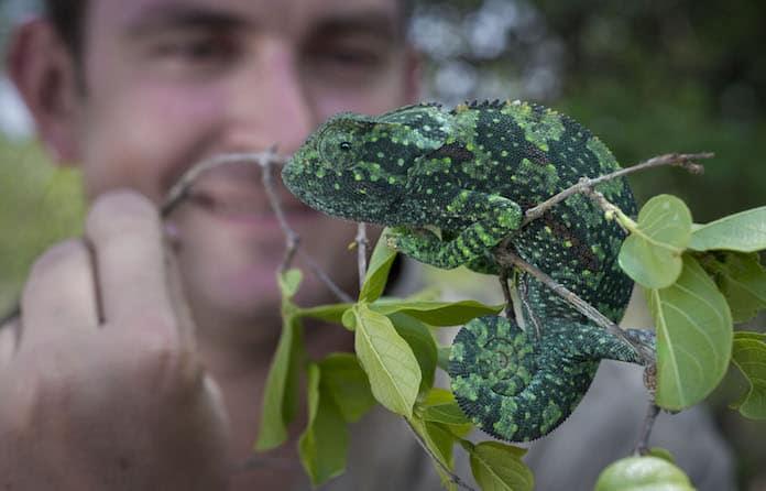 Chameleon on Tanda Tula morning walk