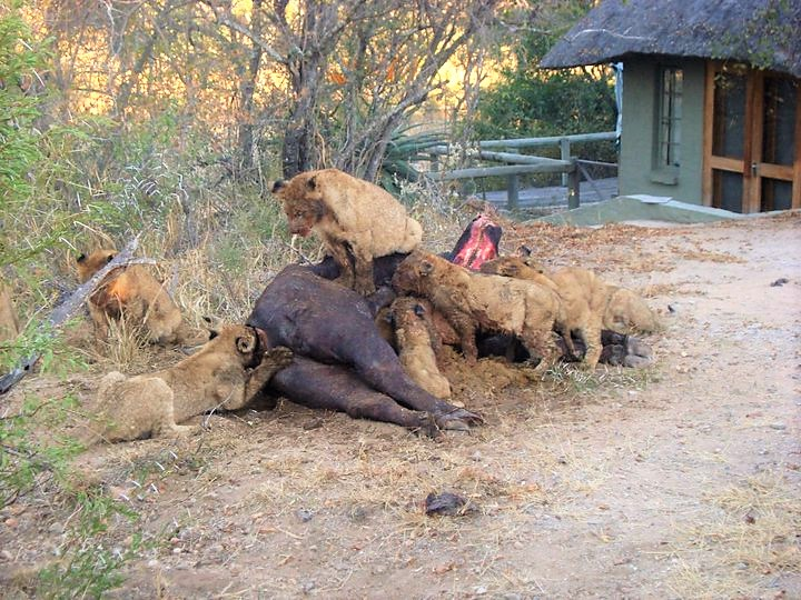 Lion kill buffalo at Tanda Tula Safari Camp
