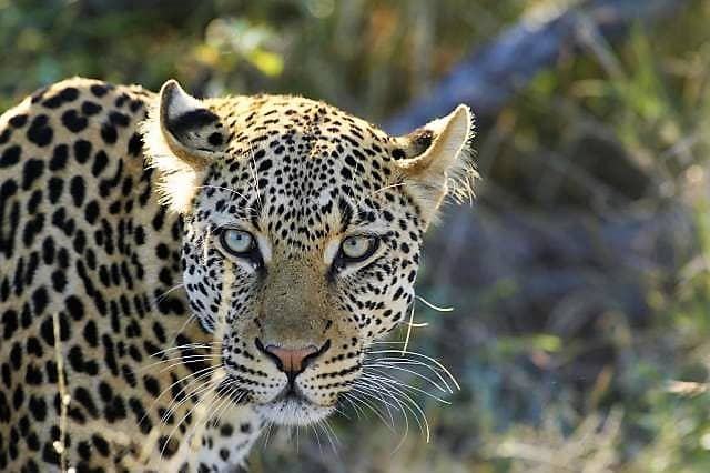 Leopard at Umlani