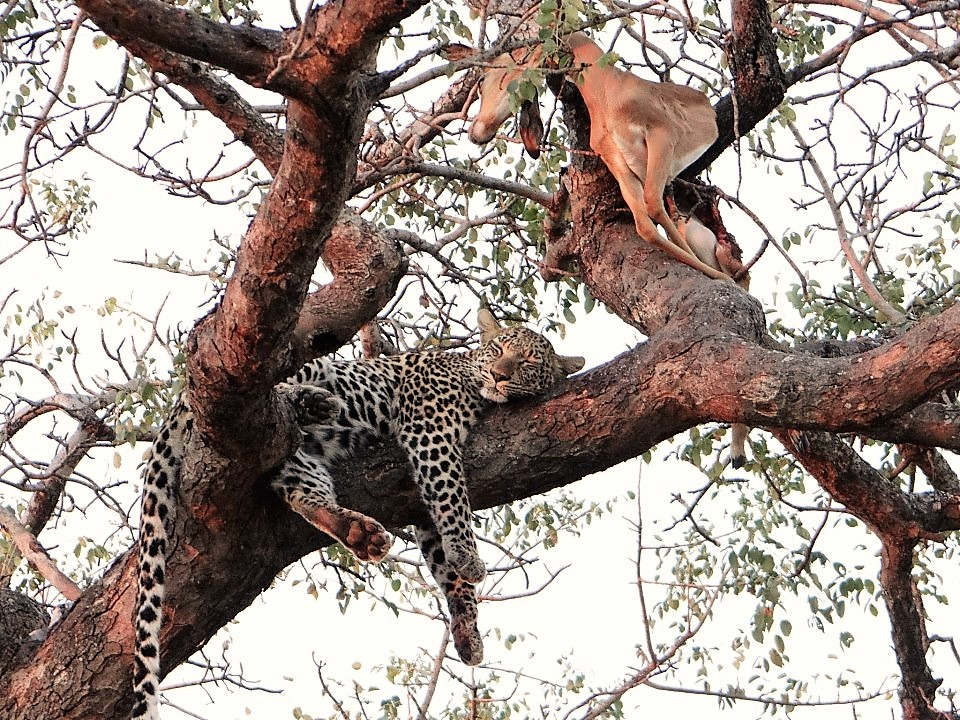 Leopard with its kill in a tree at Umlani