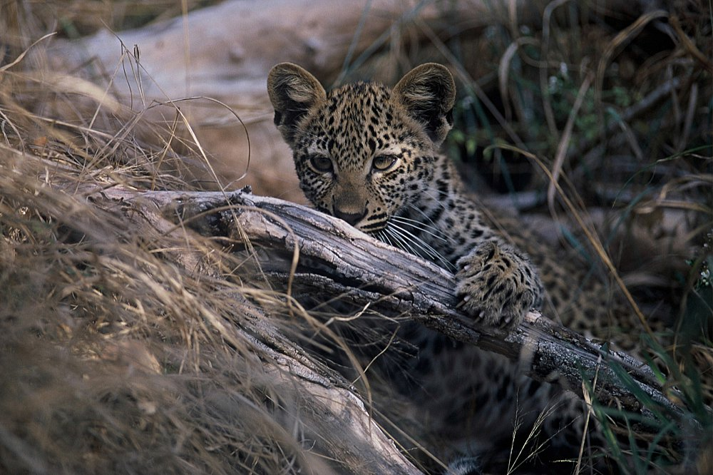 Leopard at Dulini River Lodge