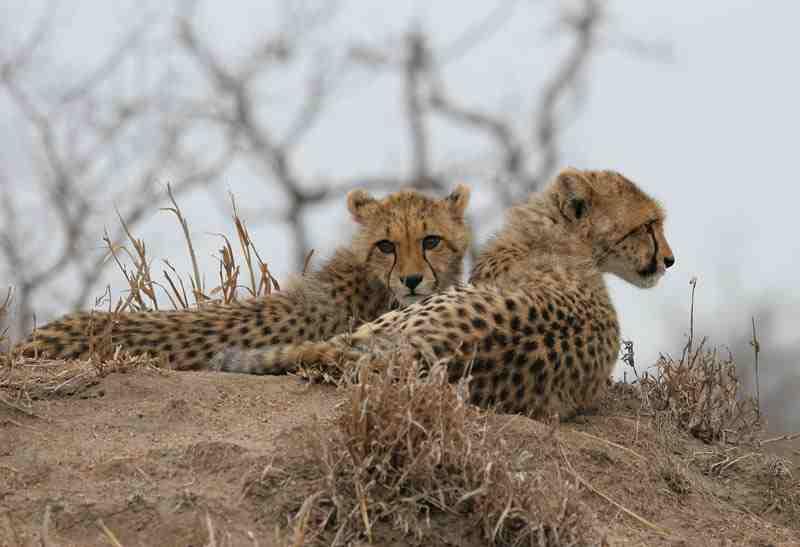 Cheetah at Hoyo Hoyo