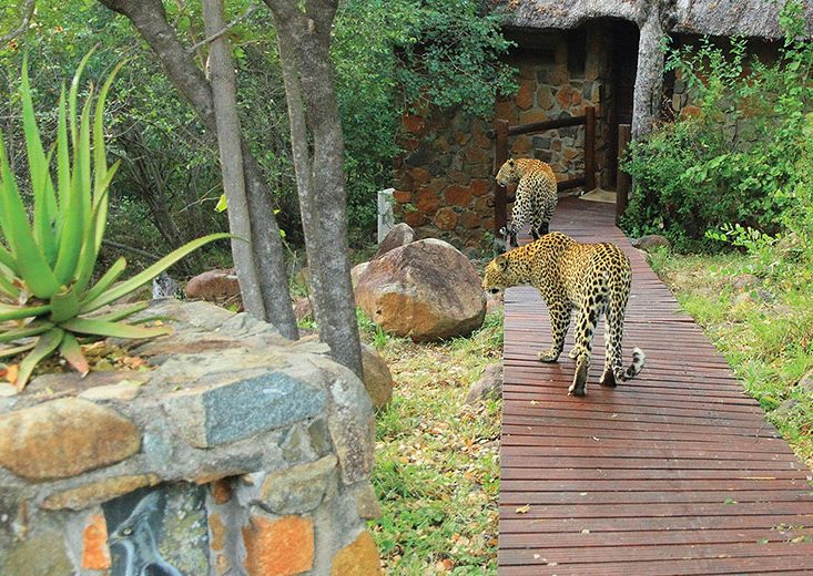 Leopard on Leopard Hills deck