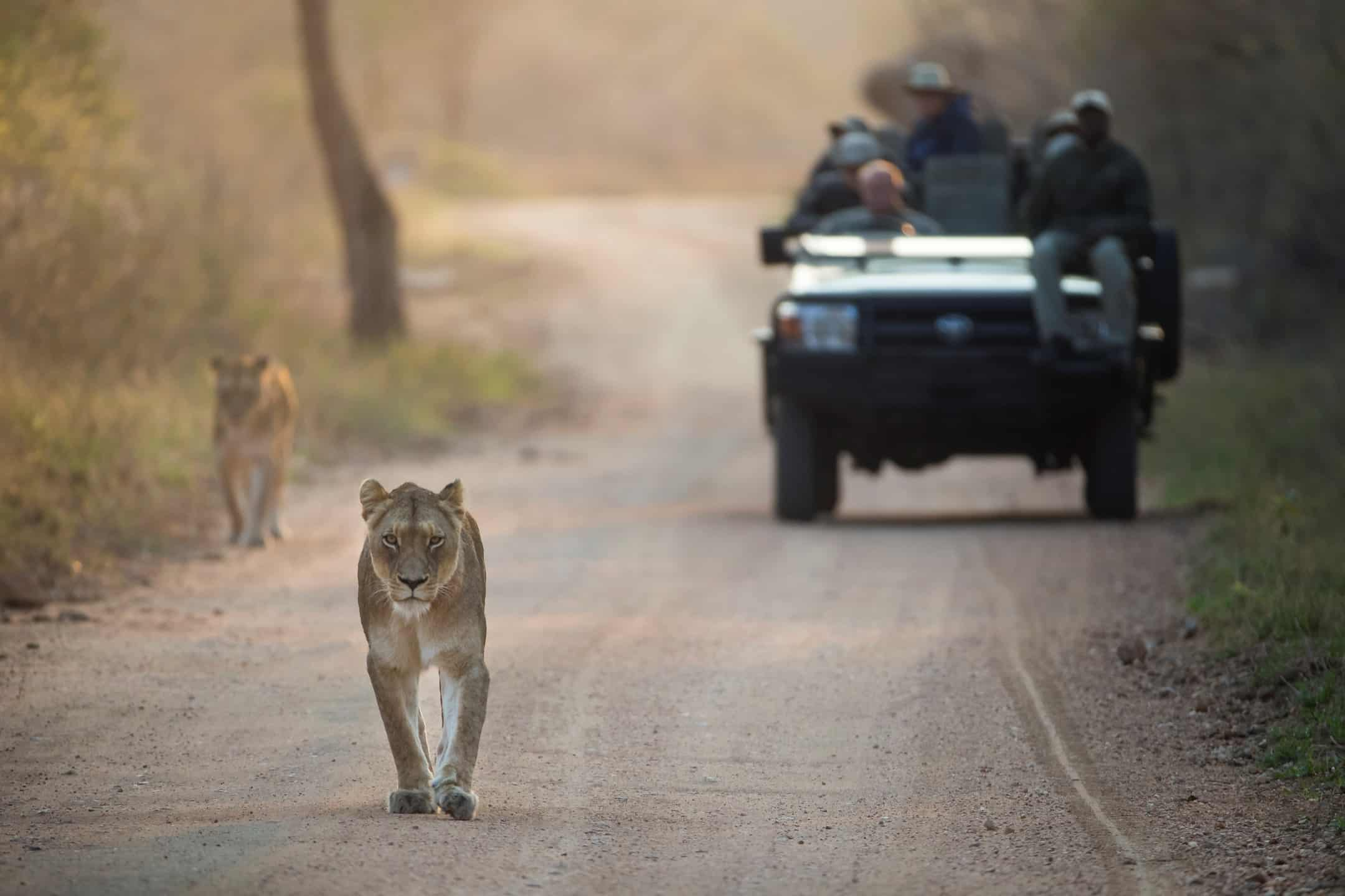 Lions on drive at Karula Buffalo Camp