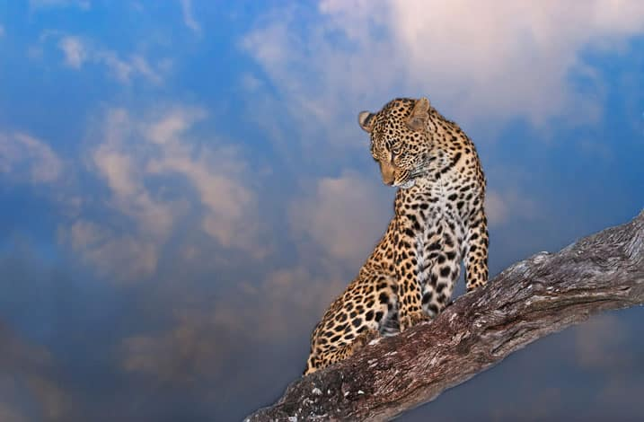 Leopard at Arathusa