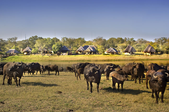 Mega herd of buffalo at Arathusa
