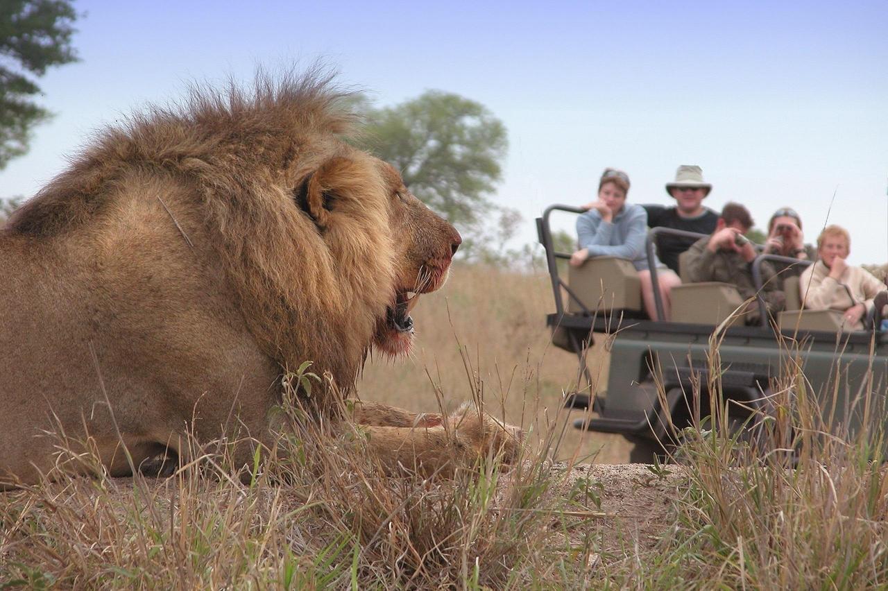Lion on Idube drive