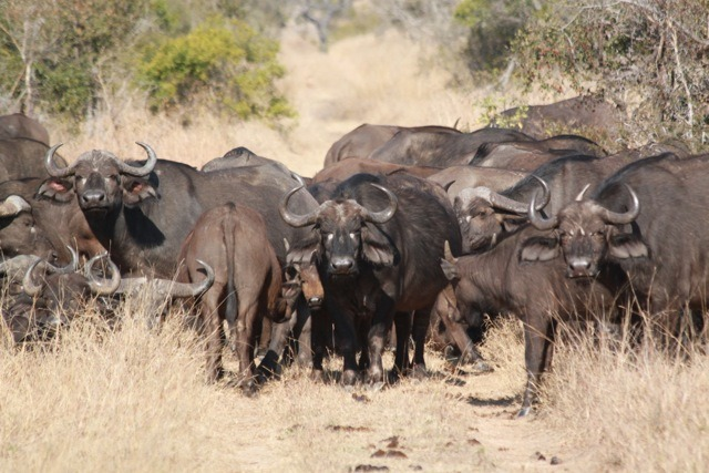 Buffalo herd on Makanyi road