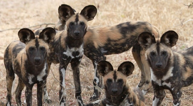 Wild dogs at Makanyi, Timbavati