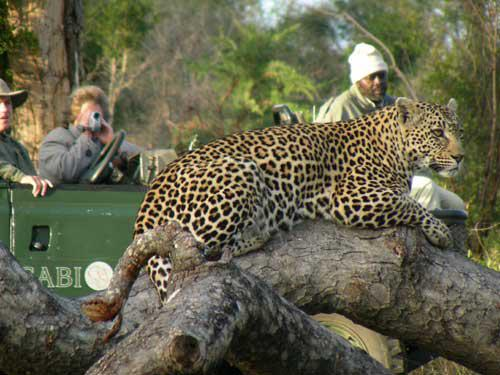 Leopard on drive at Sabi Sabi Bush Lodge