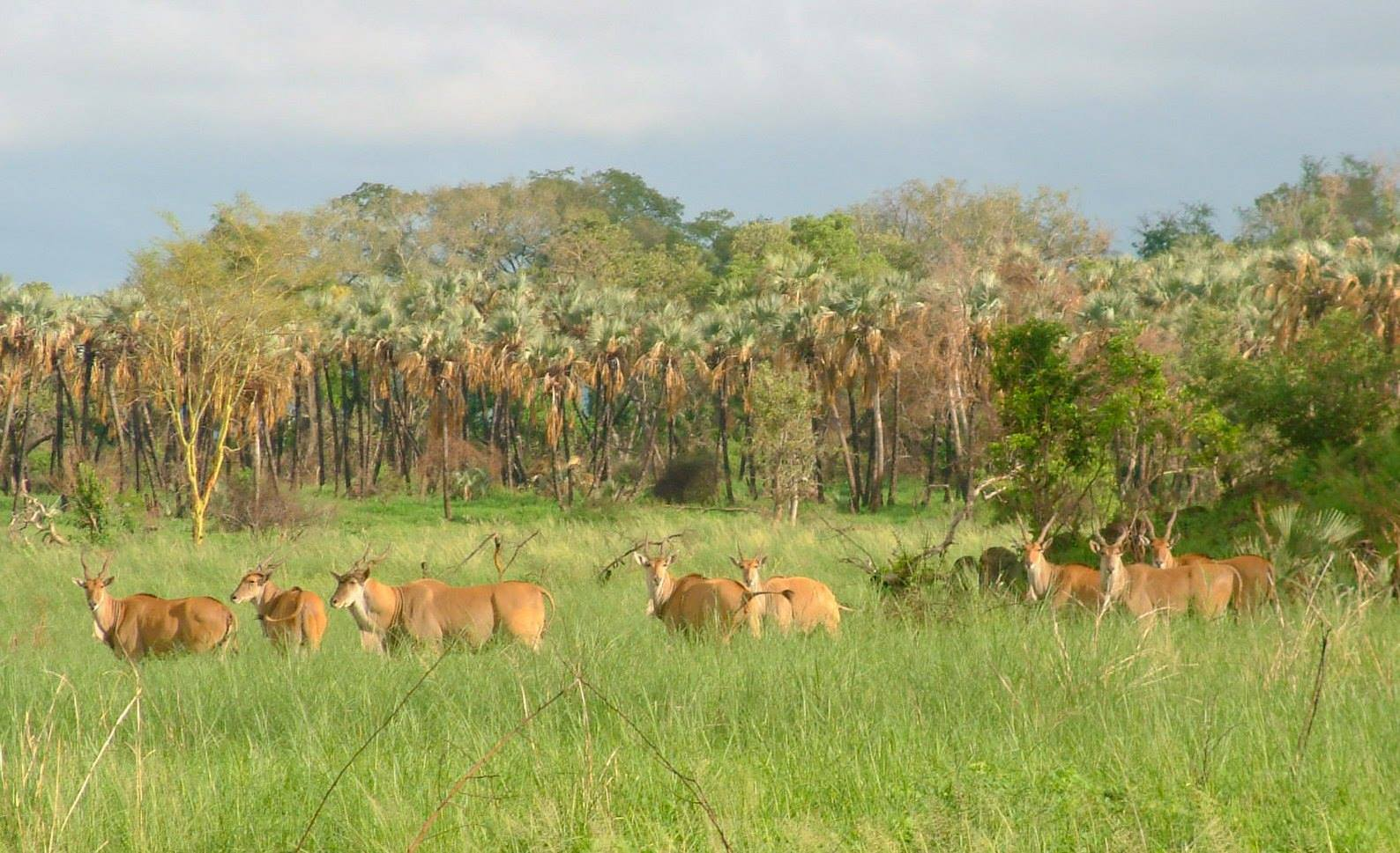 Eland on Makuleke floodplain
