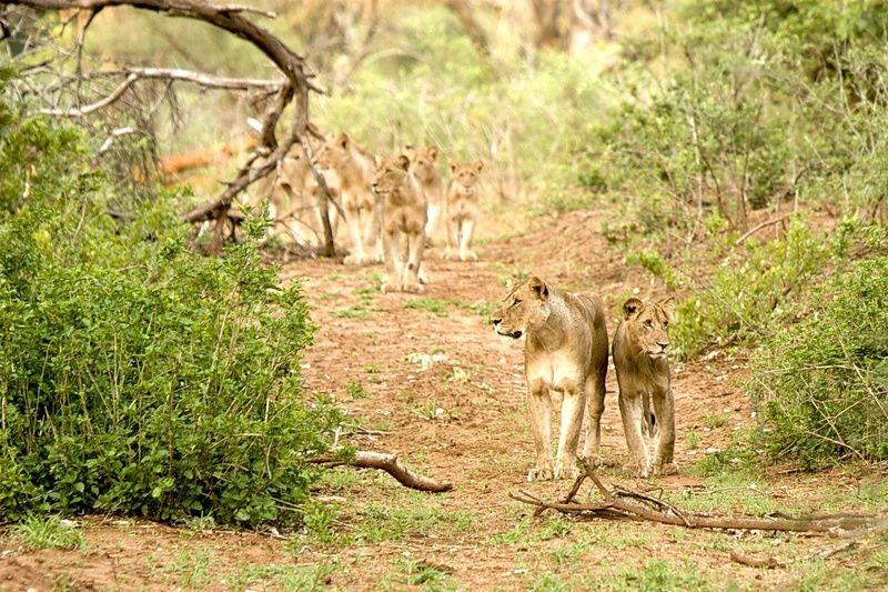 Lion pride, Makuleke