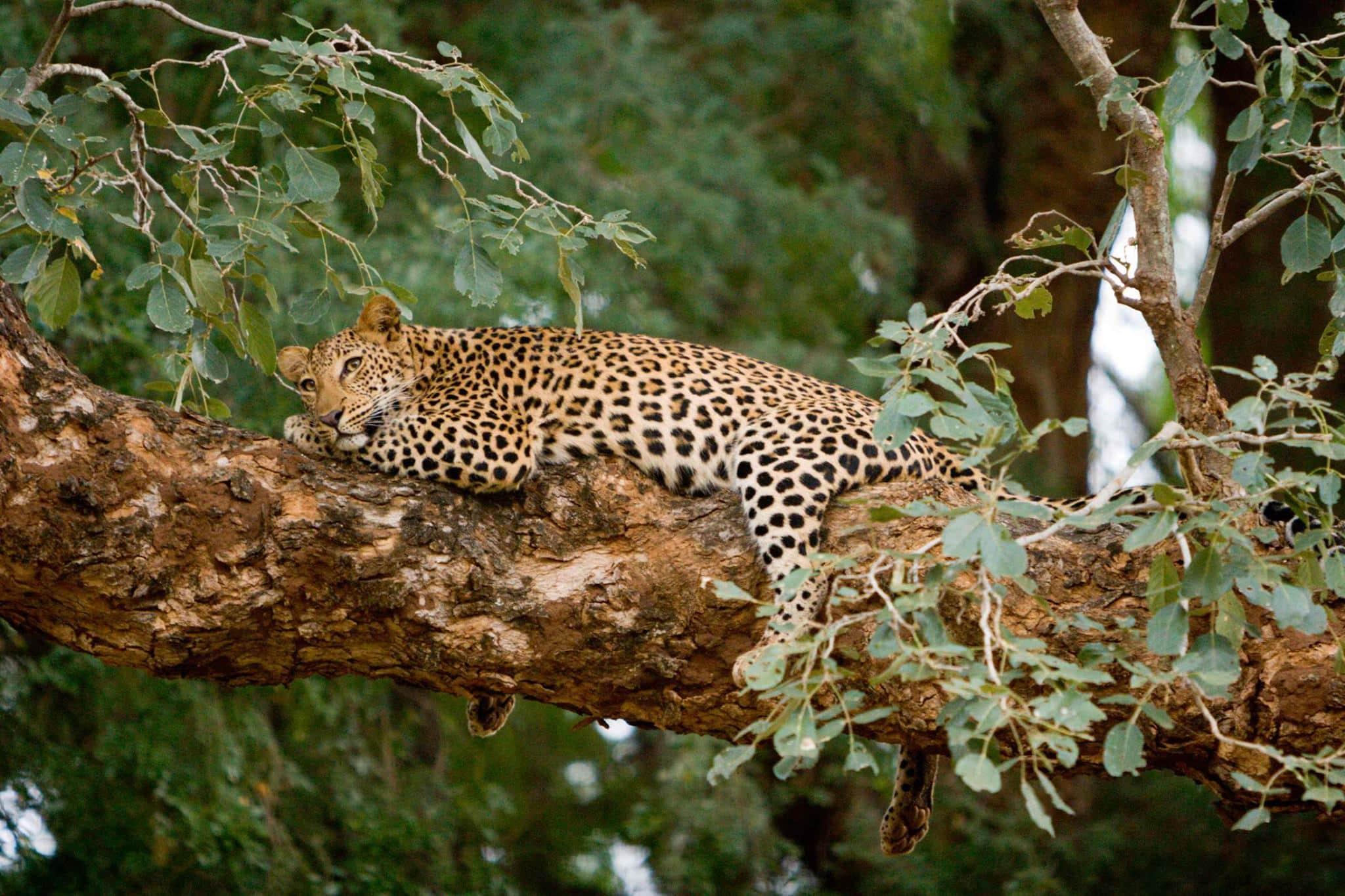 Makuleke leopard near Pafuri Camp