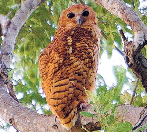 Pel's fishing owl near Pafuri Camp