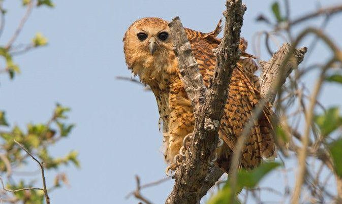 Pel's fishing owl, Makuleke