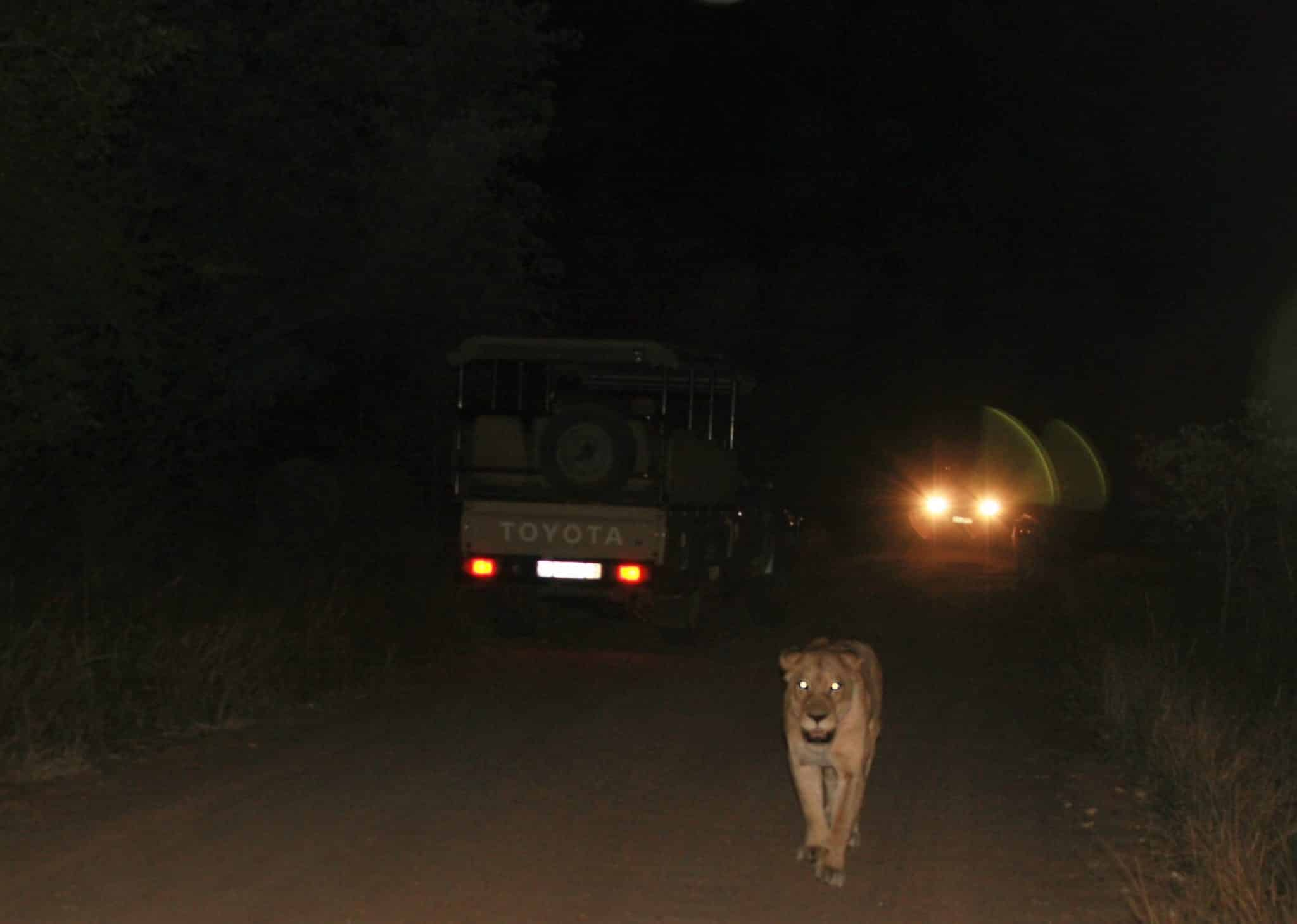 Lion on Kruger road at night, Rhino Post
