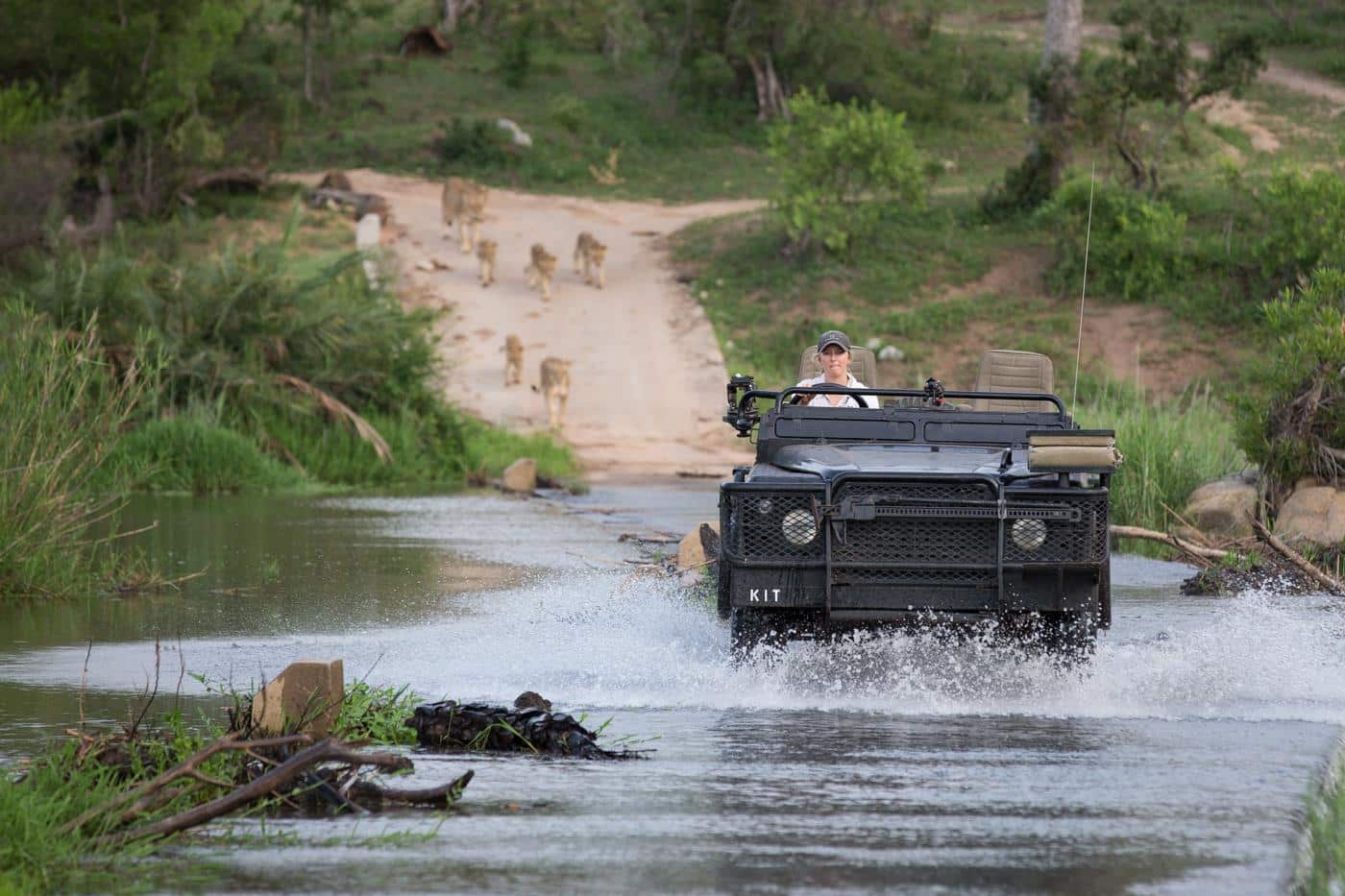 River crossing with Londolozi lions