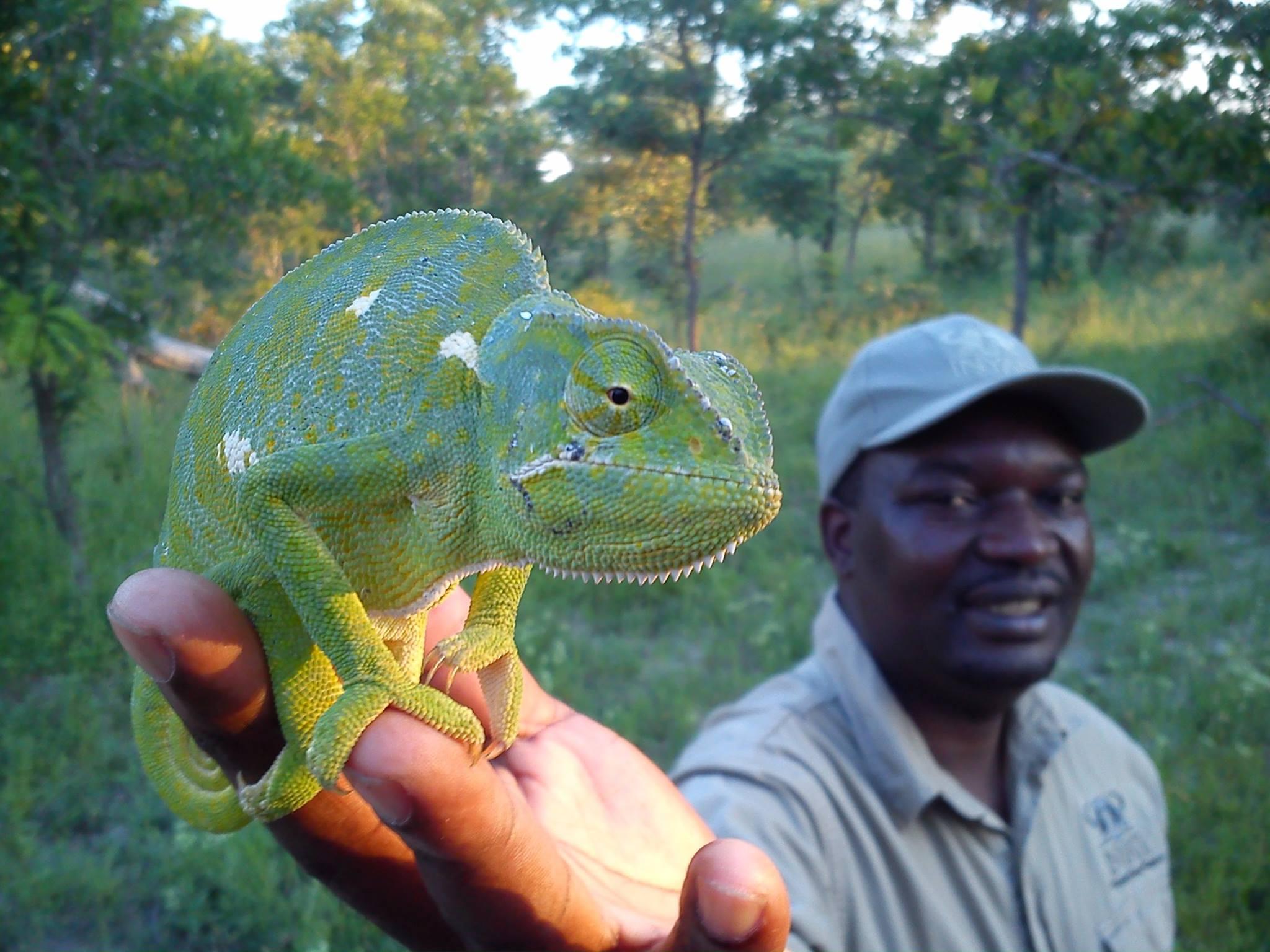 Chameleon on walk at Inyati, Horst Eckert