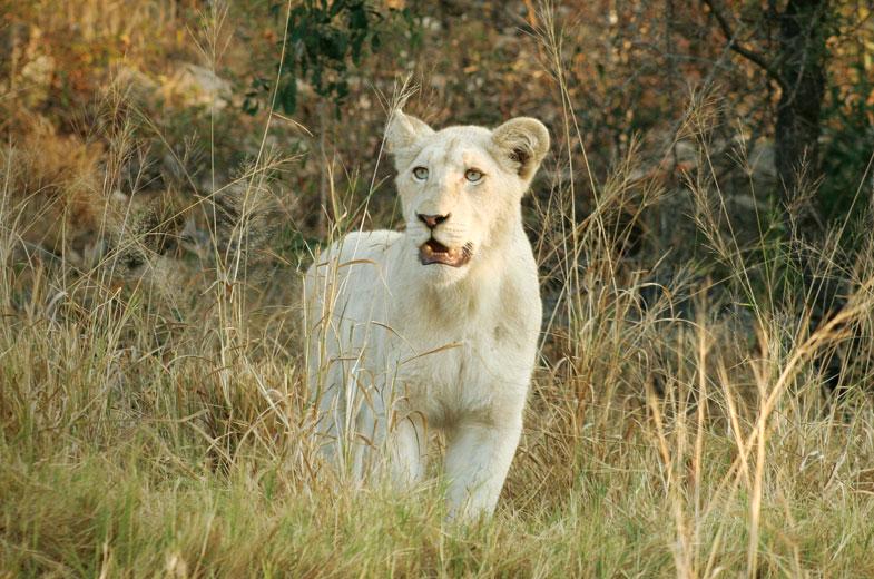Timbavati white lioness