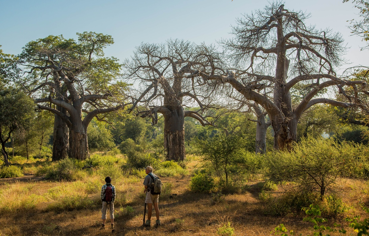 Walking the baobab groves in Makuleke