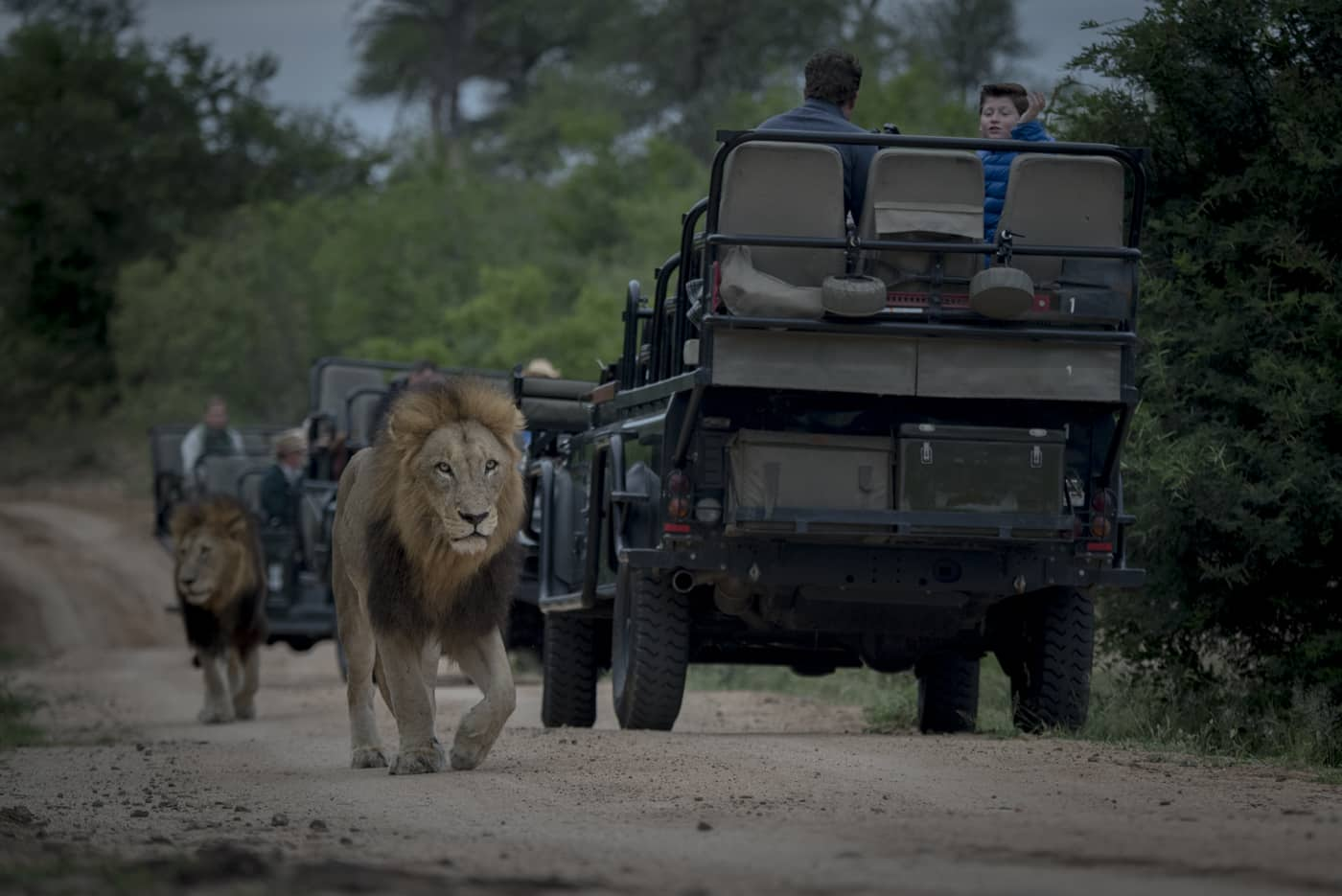 Lions on drive at Londolozi