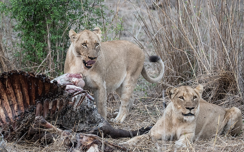 Lion pride at Gomo Gomo