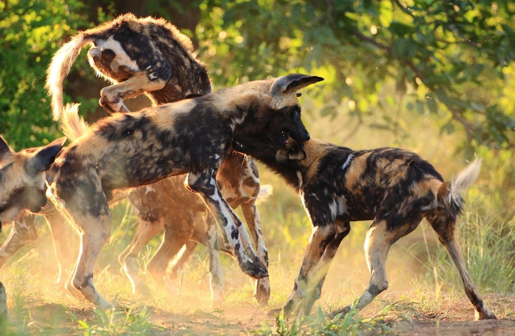 Wild dogs at Motswari