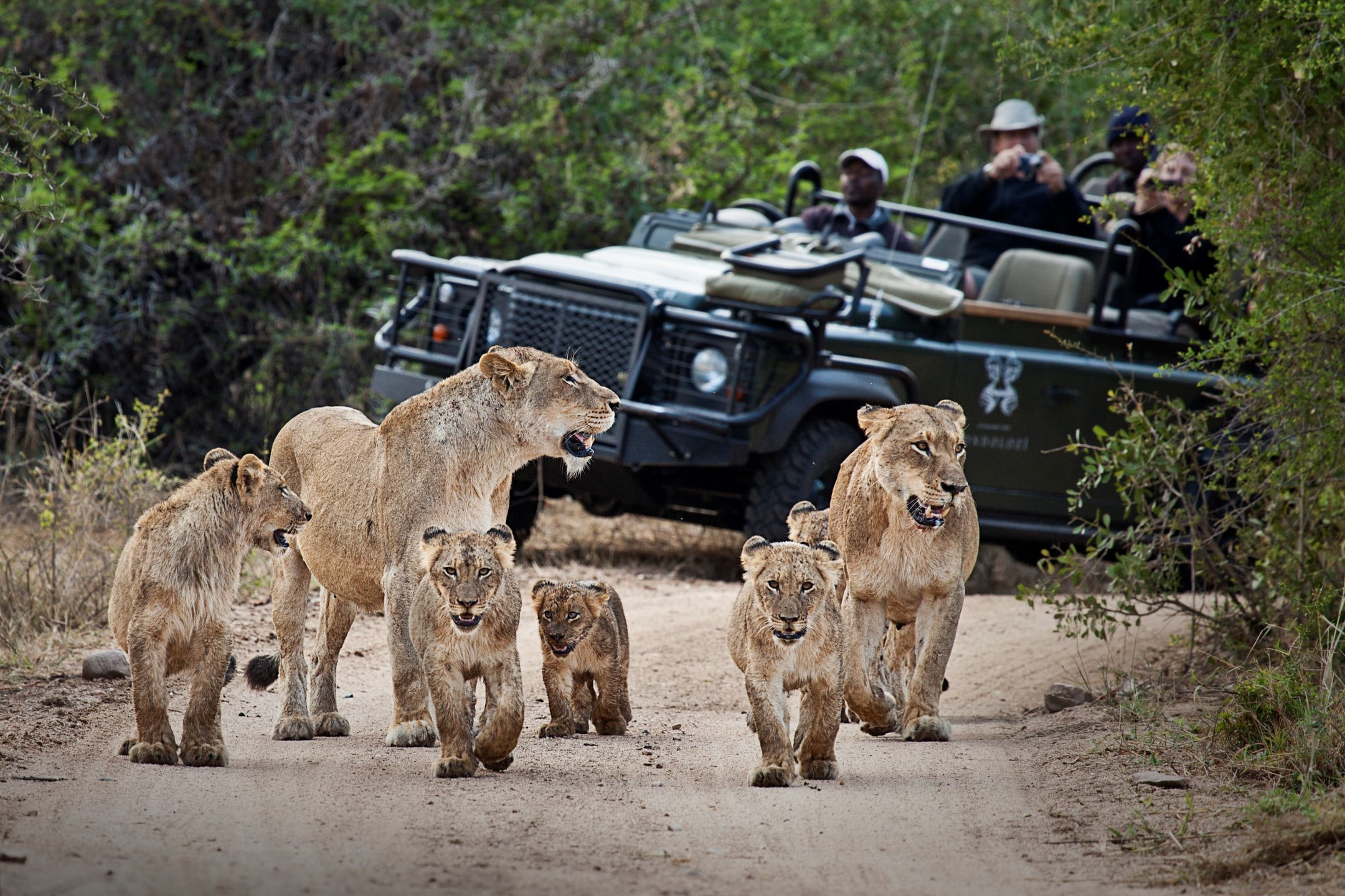 Tsalala cubs on drive from Londolozi Tree Camp