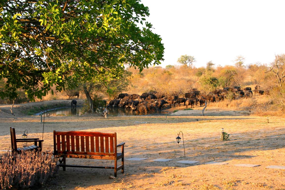 Buffalo at Kambaku waterhole